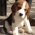 los beagles