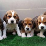 raza beagle