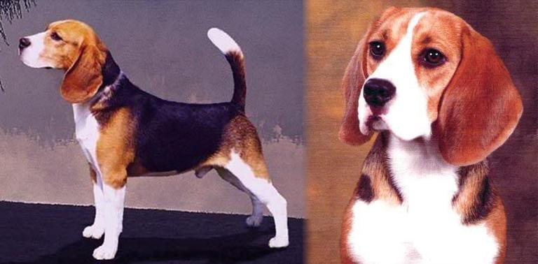 como saber si un cachorro beagle es puro