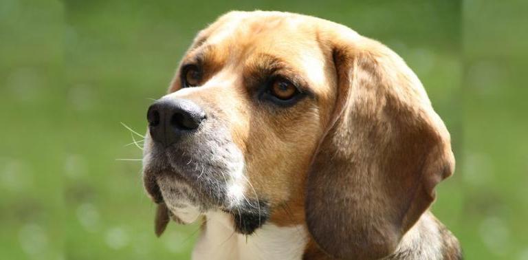 pienso para anciano beagle