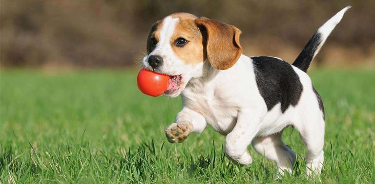 pienso para cachorro beagle